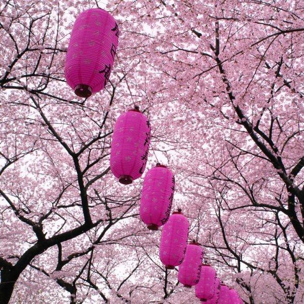 подвесные китайские фонарики украшают цветущий сад